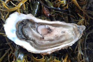The Pantiles : Oyster Shucking Masterclass with Matthew Sankey